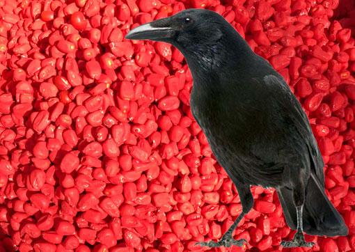 Fugl der står i bejdset majsfrø